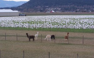 alpacas-with-snow-geese